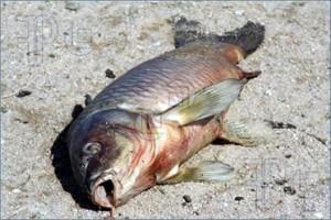 fish lead