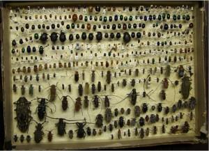 Clover bug 1