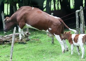 cow fence jump
