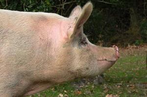 pig profile picture