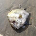 dead fish pic