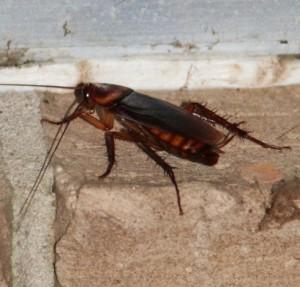 roach lead