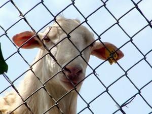 sheep barred