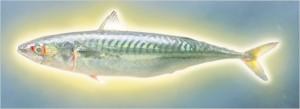 mackerel pic